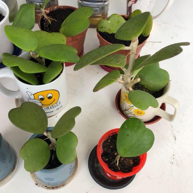 Hoya Sweetheart Plant Heart Shape Gardening On Carousell
