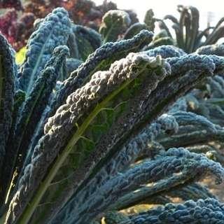 [Rare] Black Magic Kale Seeds (Organic)