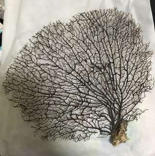 Dead dried coral branches