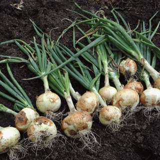 Onion seeds for sale