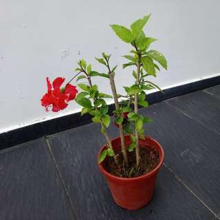 Red flower Hibiscus plant