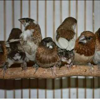 Burung emprit peking sawah buat pelepasan imlek