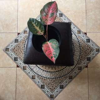 Tanaman hias tanaman indoor