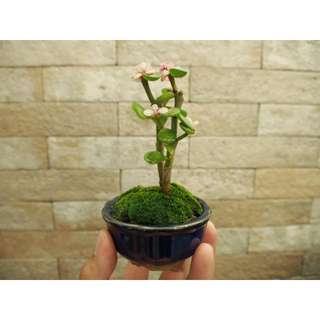 Jade Plant (split trunk)