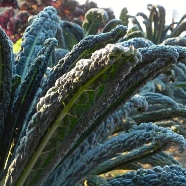 [Rare] Black Magic Kale Seeds (Organic)