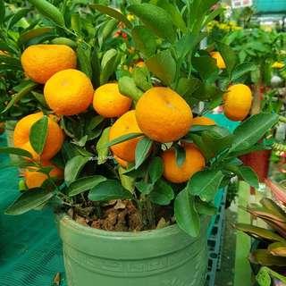 Mandarin orange plant (S)
