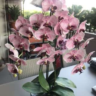 Rare orchids pink colour in glass(u.p $268)