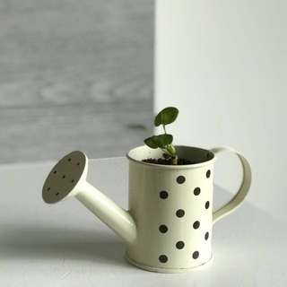 Baby pilea in watering can