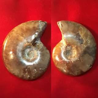 Nice Natural whole Ammonite(天然斑彩螺) from Madagascar available for Sale. Help bring Fortune, change/spin fate.(转运招财发财螺)
