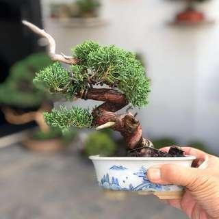 Japanese Shimpaku Bonsai