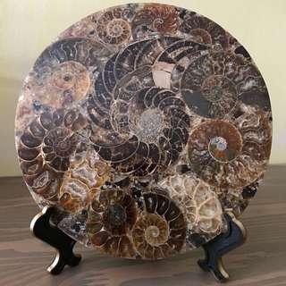 "5.07"" Ammonite Fossil Disk Madagascar"