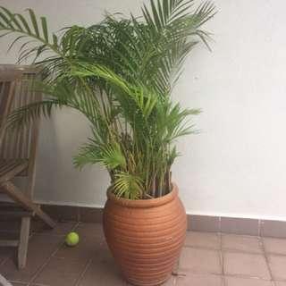 Plant - potted palm / conifer ceramic pots