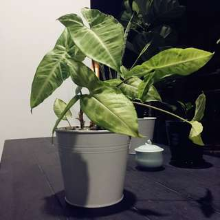 Indoor plant with IKEA white pot very healthy