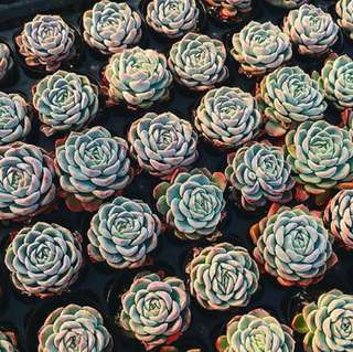 😍RARE SUCCULENTS: U003 - Primera (FIRST COME FIRST SERVE! VERY LIMITED STOCKS!)😱