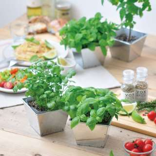Sweet Basil / Ocimum Basilicum Delish Garden Cultivation Kit