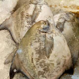 Chinese pomfret 800g up