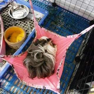 Guinea pig grooming