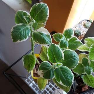 Indian Borage Mint Mexican Mint Variegated Indian Mint