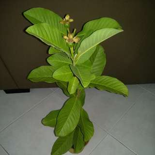 Guava fruit plant