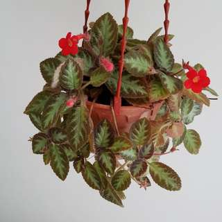 Episcia in hanging pot (red flower)