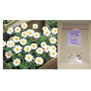 Chrysanthemum Flower Seeds (Snowland)