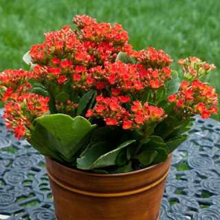 Kalanchoe (assorted colours flowers)