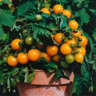 Tomato 'Golden Cherry' seeds
