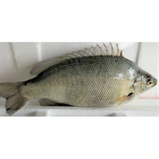 Kingfisher Jade Perch (Whole Fish Cleaned) 500-550gm per fish