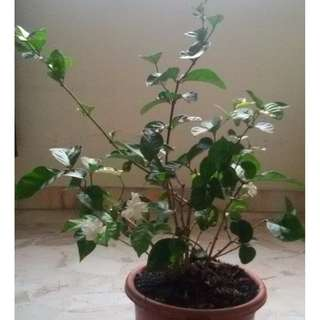 Moving out sale / Clearance / CNY / Jasmine /tree/plant/planting/Garden /Gardening /Horticulture /Tulsi/beetel/ Flowers /indian borage /bamboo/organic /orange