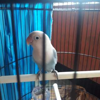 Burung love bird blue ice
