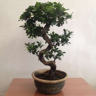Chinoiserie: Ornamental Tree in a Pot