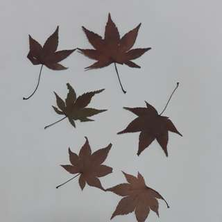 Dry maple leave