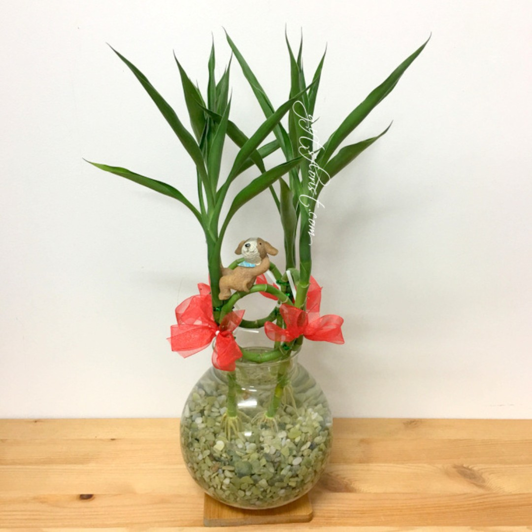 Chinese New Year Lucky Bamboo Lucky Plants 转运竹