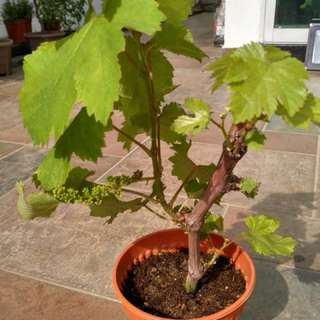 Small grape fruiting now!! See to believe!