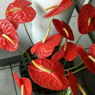 Red Real Flowers (per stem)