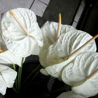 Real Flowers (White)