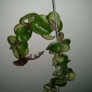 Hoya plants with buds