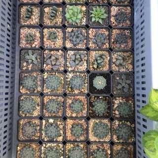 Haworthia & Succulent