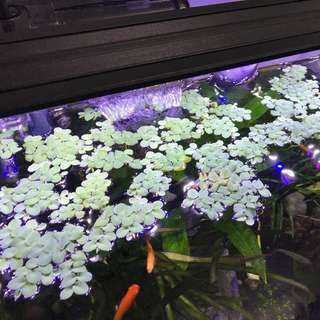 Aquatic floating plant