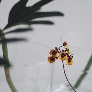 Mini Yellow Baby Orchid CNY