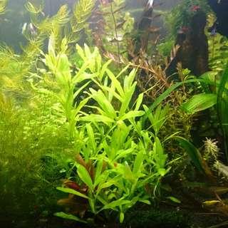 Aquatic plant - Hygrophila