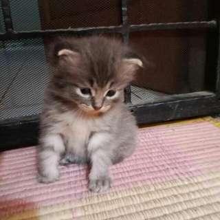 anak kucing persia hasil peranakan dengan kucing anggora