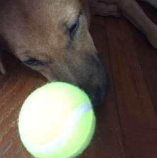 Dog Toy ( Tennis Ball Not Actual Tennis Ball )