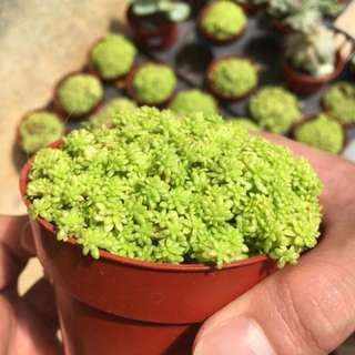 Bushy Green