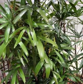 Super big pot of palm tree plant