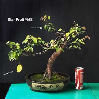 Star fruit bonsai 杨桃