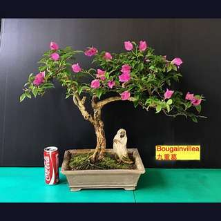 Bougainvillea bonsai 九重葛