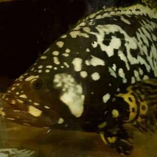 100% freshwater queenland grouper