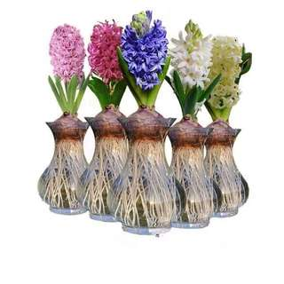 (Growth Set / Kit) Hyacinth Bulbs from Amsterdam (Netherlands / Holland) (Only 10 available)