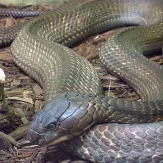 Geliga ular tedung selar ( preorder ) 7hari max tok ayah